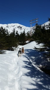The dogs leading the way out of the trees up Sheep Mountain.