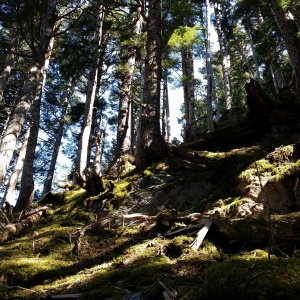 'The climb' through the trees from Sheep Creek trail valley to Camp 6 on Sheep Mountain.